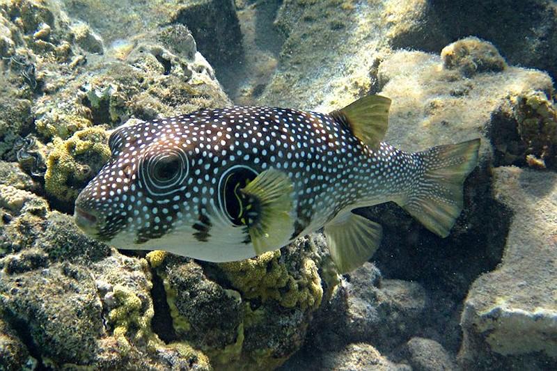 Archivio foto agosto 2011 marsa alam pesce palla a for Pesce palla immagini