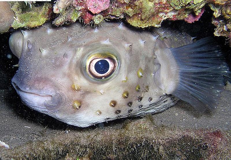 Archivio foto agosto 2011 marsa alam pesce palla for Pesce palla immagini